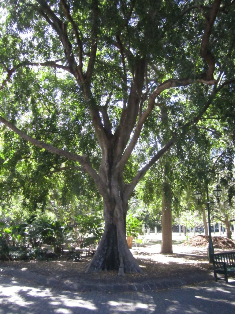 weeping fig tree, Ficus benjamina