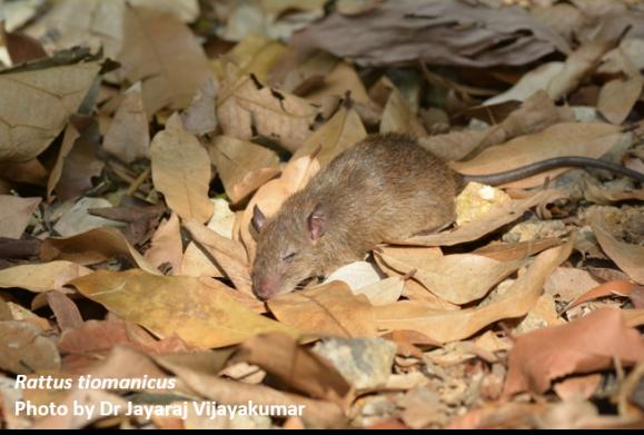 Malaysian field rat (Rattus tiomanicus)