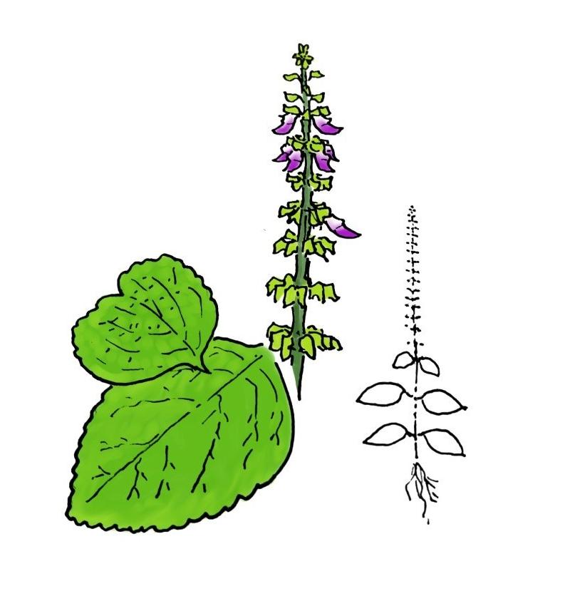 wildflower, monkey potato, rimanji, plectranthus monostachyus
