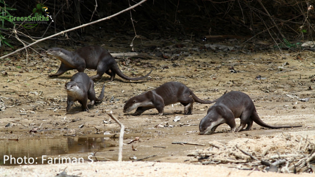 smooth coated otters