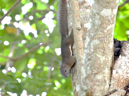 plantain squirrel on a tree trunk