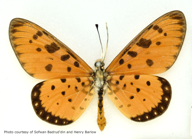 tawny coster, butterfly