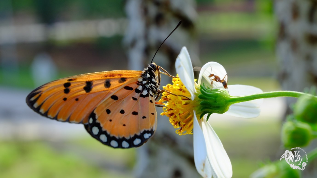 butterfly feeding on Bidens alba nectar