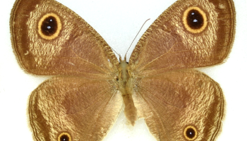 common three ring butterfly